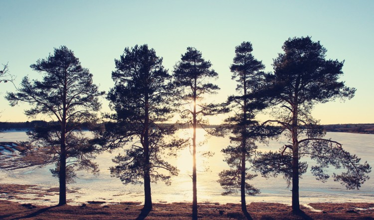 pines on the shore of a frozen lake sunset